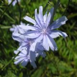 Chicory 50g seeds - FREE POST